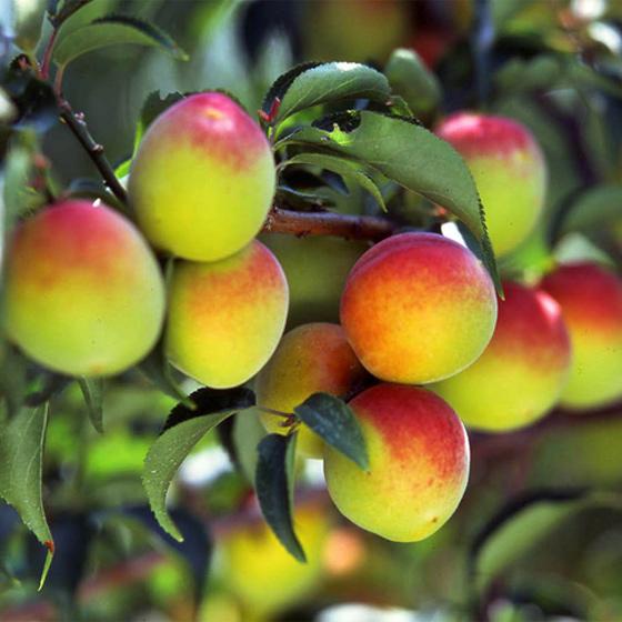 最優良品種の「南高梅」